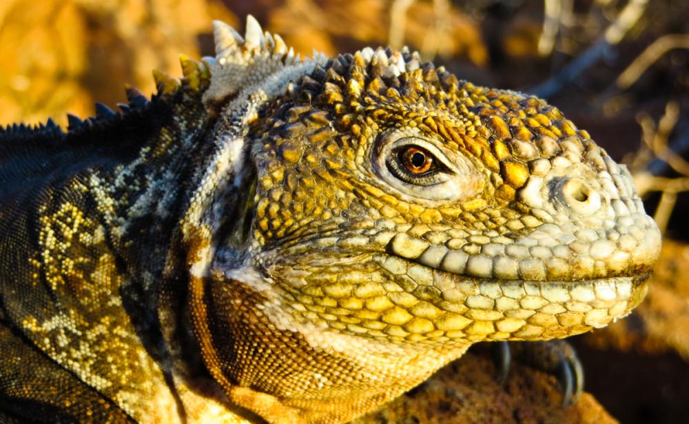 Land Iguana
